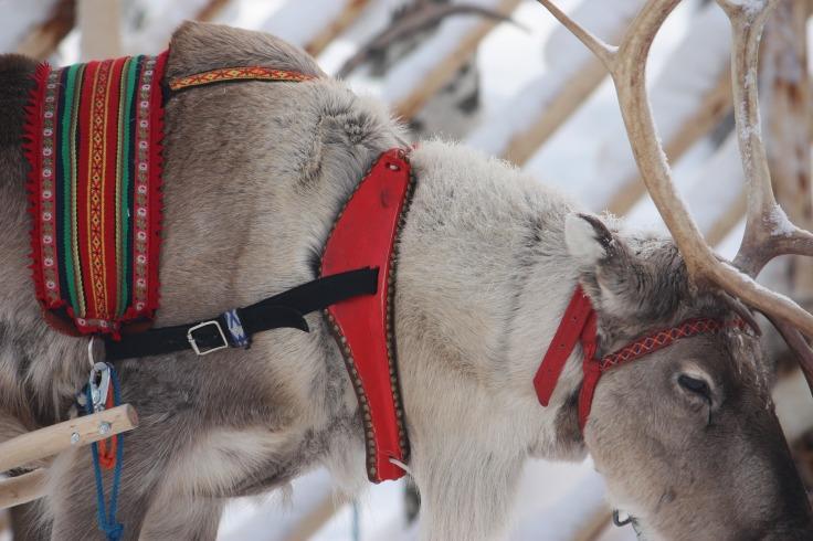 Renne du Père Noël à Rovaniemi