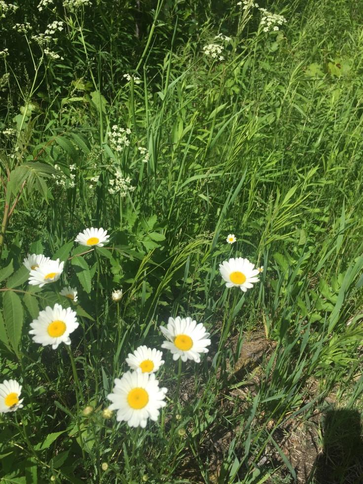 Marguerites dans un champ d'herbes hautes et vertes