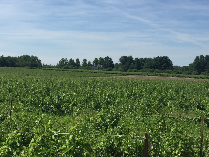 Champ de vignes vertes, sapins et maison